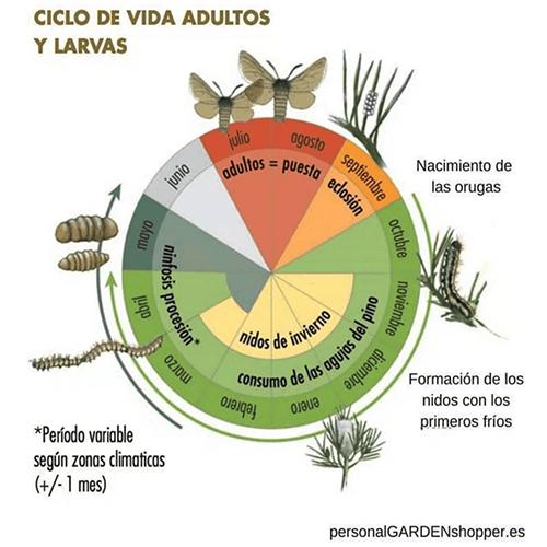 ciclo de la procesionaria
